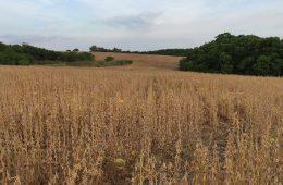 Cultivo de soja en Fray Bentos, Uruguay   Foto: Augusto Bonet