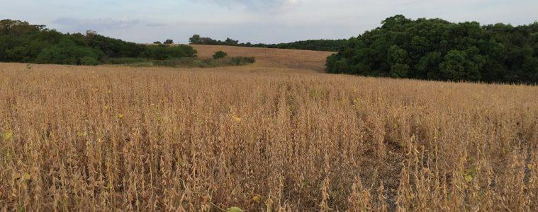 Cultivo de soja en Fray Bentos, Uruguay | Foto: Augusto Bonet