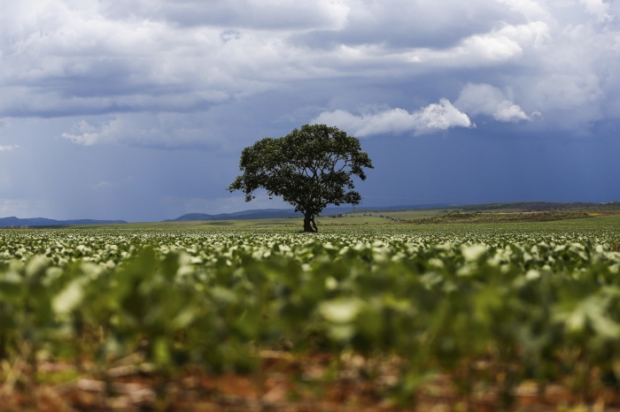 Plantación de soja en el municipio de Alto Paraíso, Goiás | Foto: Marcelo Camargo/Agência Brasil, vía WikiCommons